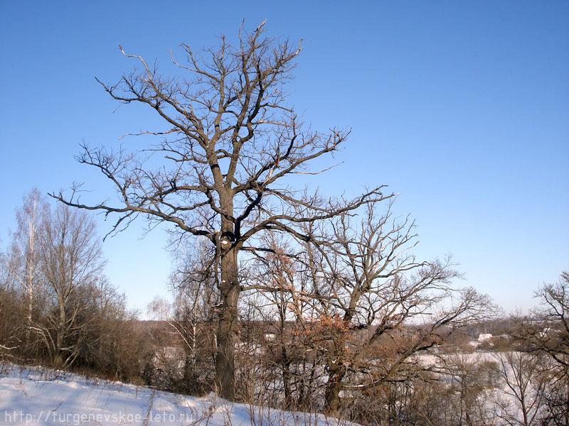Дубы-колдуны, растущие на склонах р. Снежедь. деревня Бежин Луг.