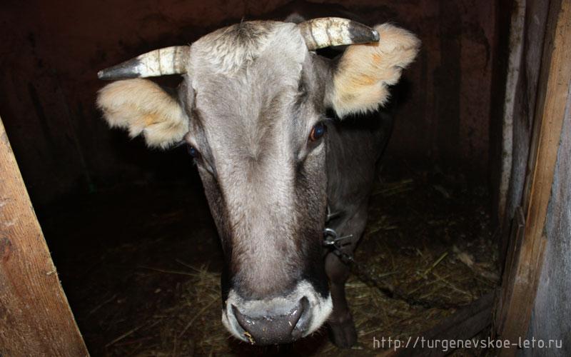туризм, отдых в русской провинции, отдых в деревне, корова Умница ждёт потомства